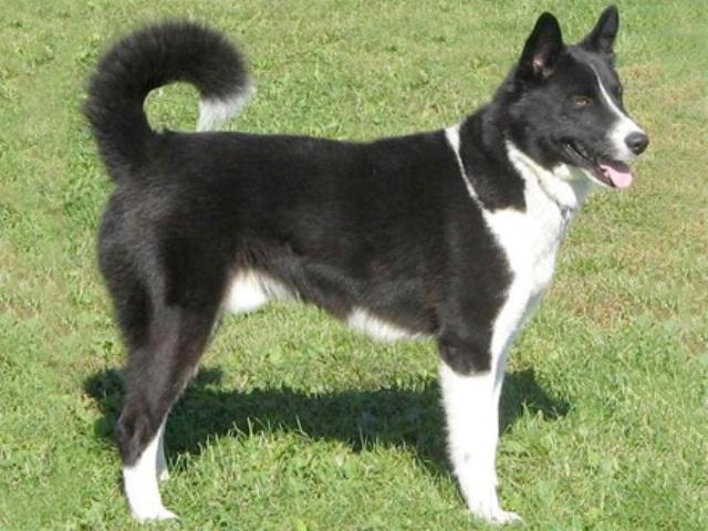 Cachorros de raça - Cão de Ursos da Carélia