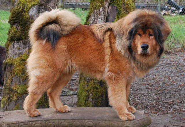 Cachorros de raça - Mastiff Tibetano