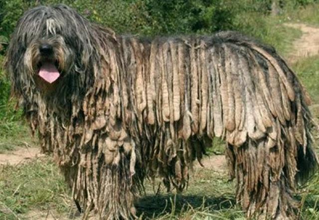 Cachorros de raça - Pastor Bergamasco