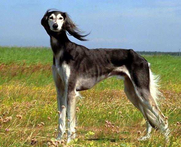Cachorros de raça - Saluki