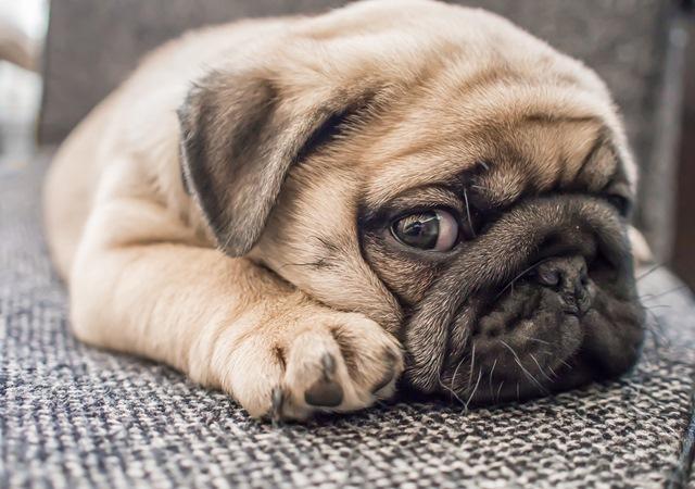 Pug - Cachorro em apartamento