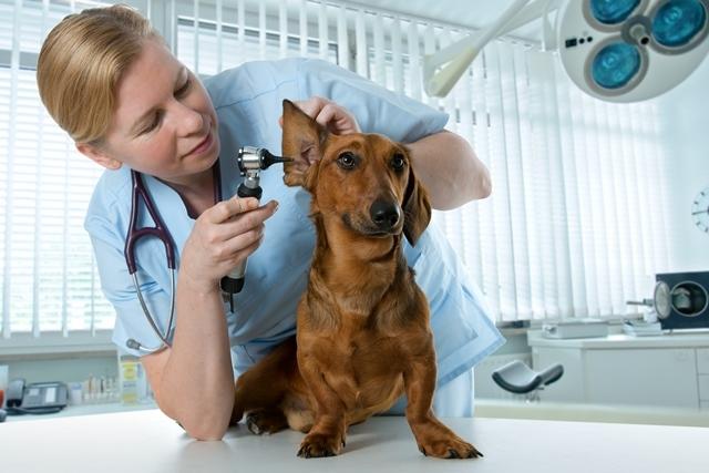 Veterinária e cão