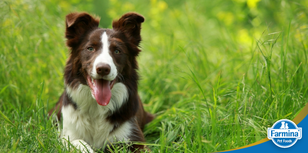 Características incríveis do Border Collie