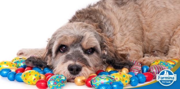 O perigo dos doces e chocolates para os pets
