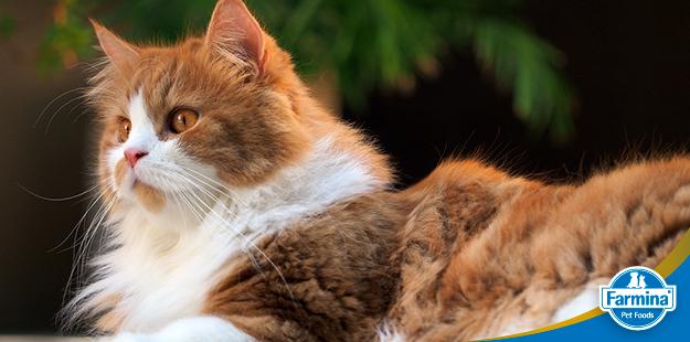 Capa de 'Características incríveis do gato Persa'
