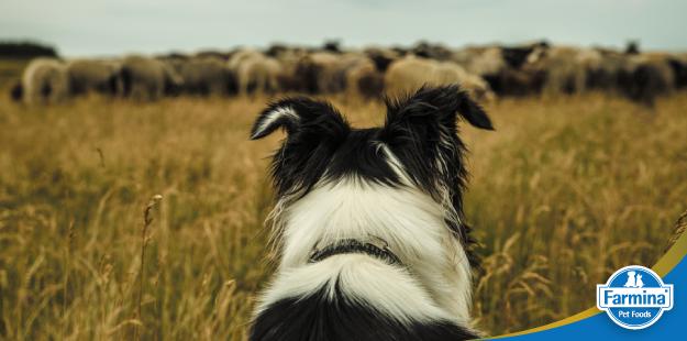 Capa de 'Cães de trabalho e suas habilidades'