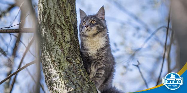 Capa de 'Características incríveis do gato Maine Coon'