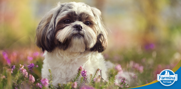 Capa de 'As características incríveis do Shih Tzu'