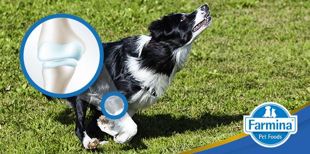 Capa de 'Como prevenir o desgaste das articulações do cão através da alimentação?'