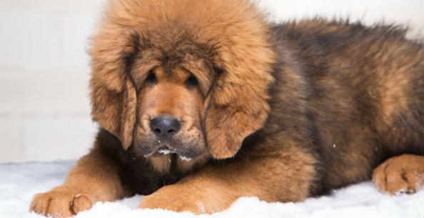 Capa de 'Cães: as raças mais curiosas e raras do mundo'