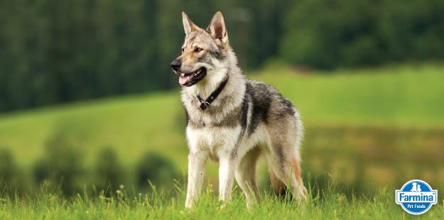 Capa de 'Conheça a raça Cão Lobo Checoslovaco'