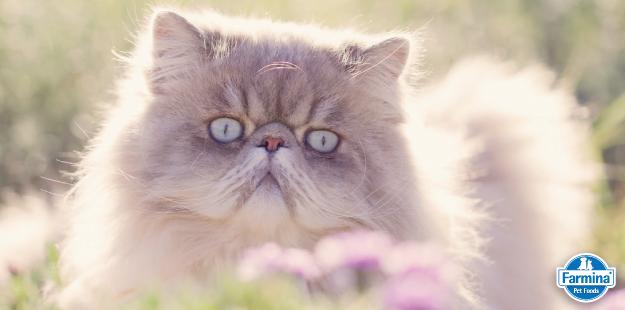 Capa de 'Características do gato Persa'